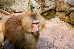 Hamadryas Baboon. Photo of Hamadryas Baboon monkey stock photo