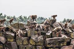 Hamadryas baboon Fotografering för Bildbyråer