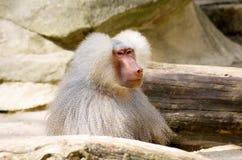 Hamadryas baboon-1 Στοκ Εικόνες