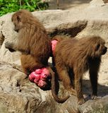 Hamadryas baboon stock photo