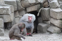 Hamadryas baboon Royaltyfri Fotografi