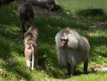 Hamadryas baboon. Also known as Papio hamadryas Large male with two younger ones royalty free stock images