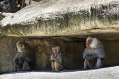 Hamadryas Baboon, 2015. Hamadryas baboons in the Munich zoo (Tierpark Hellabrunn royalty free stock image