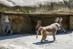 Hamadryas Baboon, 2015. Hamadryas baboons in the Munich zoo (Tierpark Hellabrunn stock images