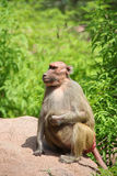 Hamadryas baboon. S primarily found between red sea and Ethiopia royalty free stock images