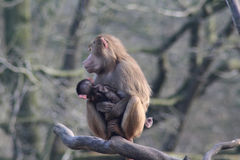 Hamadryas baboon with baby Royalty Free Stock Images
