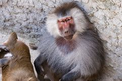 Hamadryas baboon at the Budapest Zoo. & Botanical Garden stock photos