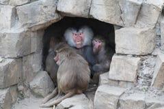 Hamadryas baboon cave Stock Photos