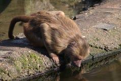 Hamadryas baboon drinking Stock Photo