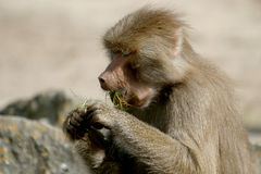 The Hamadryas Baboon is eating. The hamadryas baboon (Papio hamadryas) inhabits semi-arid plains and rocky hill country in Ethiopia and Somalia in Africa, and Stock Photography