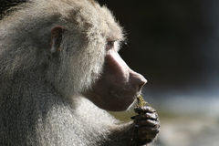 The Hamadryas Baboon is eating. The hamadryas baboon (Papio hamadryas) inhabits semi-arid plains and rocky hill country in Ethiopia and Somalia in Africa, and Stock Photos
