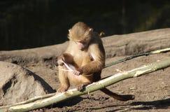 Hamadryas baboon eating Royalty Free Stock Images