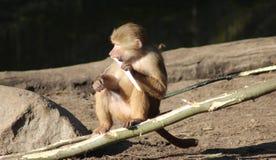 Hamadryas baboon eating Royalty Free Stock Image