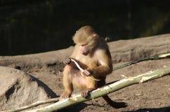 Hamadryas baboon eating Royalty Free Stock Photography