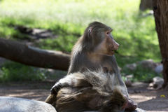 Hamadryas baboon eats leaf Stock Image