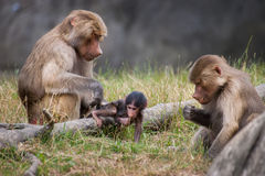Two female hamadryas baboons and eat and take car royalty free stock photography
