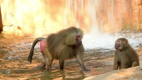 Hamadryas baboon family in the zoo with waterfall background.  stock video