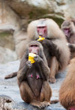 Hamadryas Baboon Stock Photography