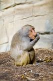 Hamadryas Baboon. Female Hamadryas Baboon (Papio hamadryas) a species of baboon from the Old World monkey family royalty free stock image
