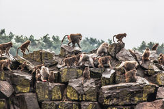 Hamadryas baboon. A group of hamadryas baboons on a rock stock image