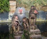 Hamadryas baboon group Royalty Free Stock Image