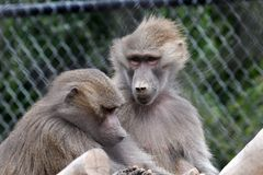 Hamadryas baboon. The hamadryas baboon is a species of baboon from the Old World monkey family. It is the northernmost of all the baboons, being native to the royalty free stock photography
