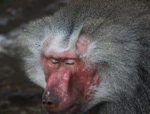 Hamadryas baboon head Stock Photo