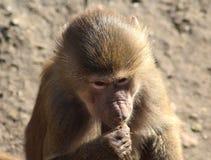 Hamadryas baboon head Royalty Free Stock Photo