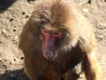 Hamadryas baboon head Royalty Free Stock Photos