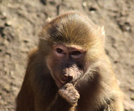 Hamadryas baboon head Stock Images