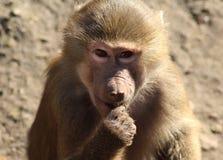 Hamadryas baboon head Royalty Free Stock Photography