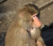 Hamadryas baboon head Royalty Free Stock Images