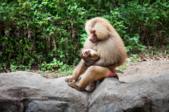 The hamadryas baboon Stock Images