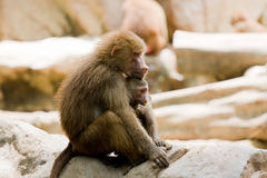 A Hamadryas Baboon is holding it's baby, snapped. In Singapore zoo Royalty Free Stock Photo