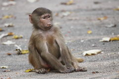 Hamadryas baboon juvenile Royalty Free Stock Photos