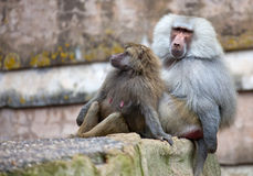 Hamadryas Baboon male and female Royalty Free Stock Images