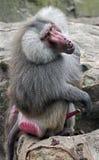 Hamadryas baboon 3 Royalty Free Stock Photos