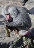 Hamadryas baboon male 3 Royalty Free Stock Photography