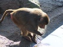 Hamadryas baboon male Royalty Free Stock Image