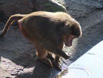 Hamadryas baboon male Stock Images