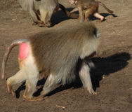 Hamadryas baboon male Stock Photo