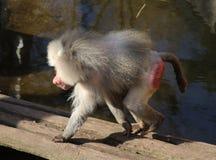 Hamadryas baboon male Stock Photography
