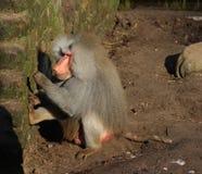 Hamadryas baboon male Royalty Free Stock Photo