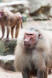 Hamadryas Baboon. A mean looking male Hamadryas baboon (Papio hamadryas) at the Singapore Zoo royalty free stock photography