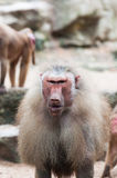 Hamadryas Baboon. A mean looking male Hamadryas baboon (Papio hamadryas) at the Singapore Zoo royalty free stock photo