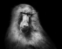 Hamadryas baboon monkey black white portrait Royalty Free Stock Images