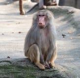 Hamadryas baboon monkey. Female hamadryas baboon monkey sitting full-length closeup view stock photos
