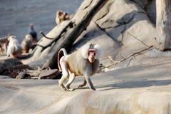 Hamadryas baboon monkey Heropithecus gelada. Hamadryas baboon monkey animal Heropithecus gelada royalty free stock photography