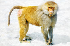 Hamadryas Baboon monkey. Hamadryas Baboon Monkey in its natural habitat of the wild royalty free stock photography