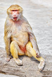 Hamadryas Baboon monkey. Hamadryas Baboon Monkey in its natural habitat of the wild royalty free stock photo